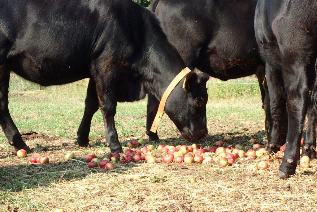 Rinder fressen Äpfel
